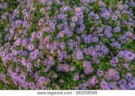 Profusion Of Aster Flowers Taken In The Autumn With Lovely Late Afternoon Sunshine On Them.