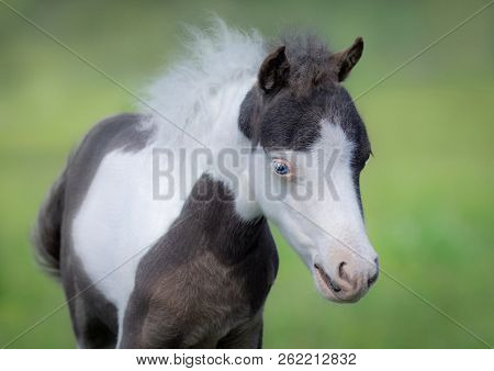 American Miniature Horse. Portrait close up of pinto foal with blue eyes on blurred green background.