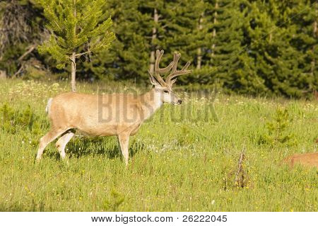 Mule deer in a field of flowers in Yellowstone National Park