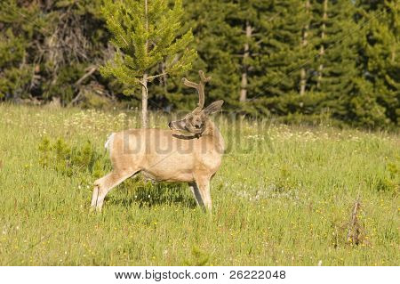 Mule deer scratching itself in a field of flowers in Yellowstone National Park
