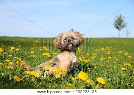 Small Lhasa Apso Is Sitting In A Field With Dandelions