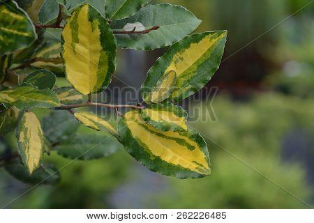 Oleaster Maculata - Latin Name - Elaeagnus Pungens Maculata