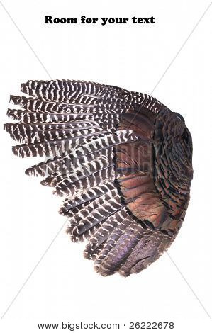 wild Turkey wing isolated on white