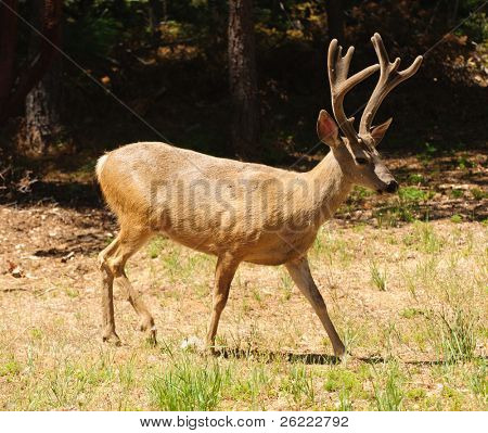 closeup of a black-tailed buck walking