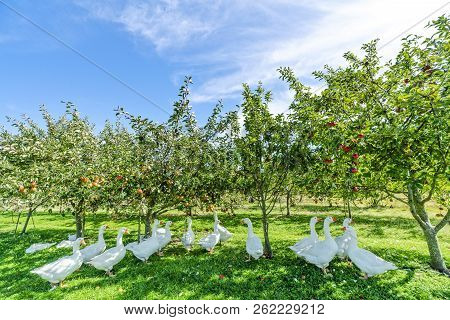 Geese Under Apple Trees In A Rural Environment In The Summer