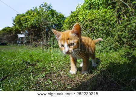Orange Kitten On Adventure In A Backyard With Green Plants