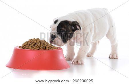 english bulldog puppy walking up to the food dish on white background