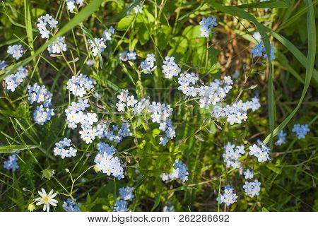 Small Blue Myosotis Flowers. Forget-me-not Or Scorpion Grasses In Summer Field, Top View