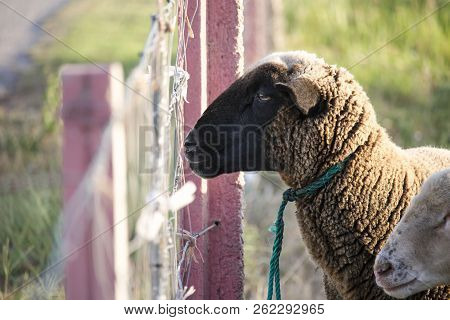 Cute Brown Sheep Looking Disinterested And Bored Into The Distance Through A Chain Link Fence. Sad A