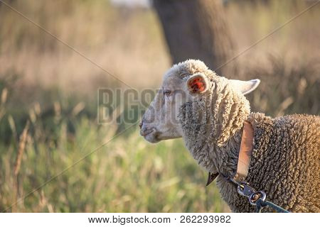 Sideview Of White Sheep Face Looking Disinterested And Bored. Dirty White Sheep On A Leash. Shallow