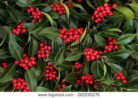 Winter and Christmas holly berry background. Traditional Christmas greeting card for the holiday season.