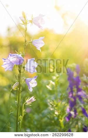 Flower At Sunrise. Spring Or Summer Floral Background. Blue Flower Against The Sunset Sky