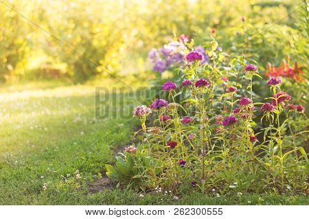 Flowers At Sunrise - Carnation. Spring Or Summer Floral Background. Flowers Against The Sun