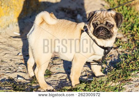 New Born Pug Dog Playing Outdoors.portrait Of Beautiful Male Pug Puppy Dog