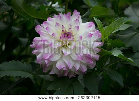 Beautiful Purple Pastel Colored Dahlia Flower In A Natural Garden Environment