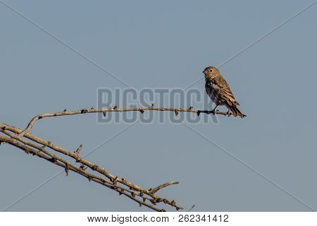 An Adult Female House Finch Pearched On A Branch In Autumn