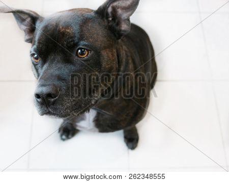 Cute Dog Staffy White Floor Bright Eyes