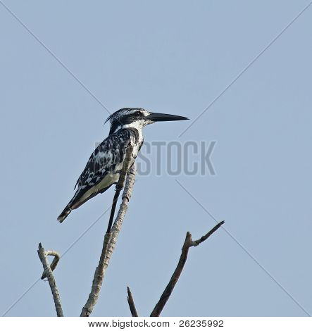 Pied Kingfisher perched in sunlight in The Gambia poster