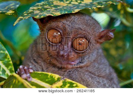 Big eyed Tarsier hiding under a leaf