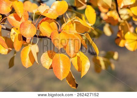 Branch Pear With Red Yellow Foliage, Autumn Leaves At Fall Time. Coloring And Processing Photo. Tone