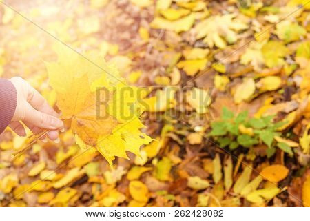 Beautiful Autumn Background With Golden Maple Leaves In The Woman Hand, Shallow Depth Of The Field,