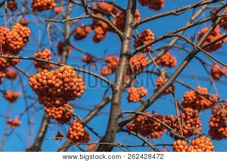 Bunches Of Bright Red Rowan Berries On A Branch Against The Blue Sky On A Sunny Autumn Day.