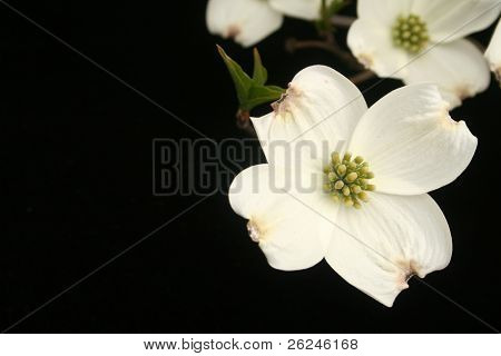 Dogwood blooms on black