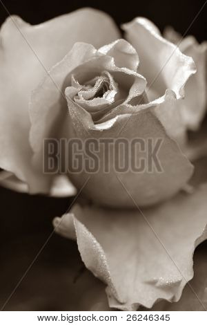 Sepia rose bud