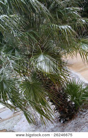 frozen palm tree in Texas