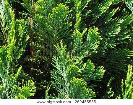 Cupressus, Detail Of A Green Needle, A Popular Garden Conifer, Cypress