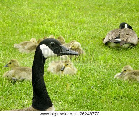 mother goose watching her babies poster