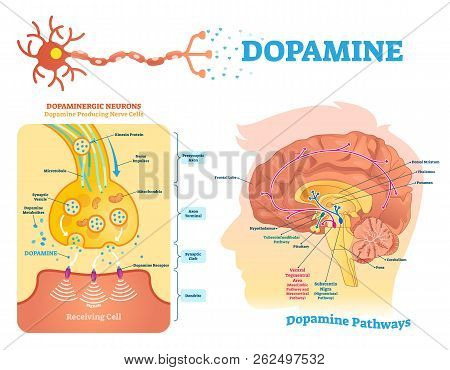 Dopamine Vector Illustration. Labeled Diagram With Its Action And Pathways. Scheme With Closeup Pres