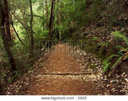 Muir Woods Path 1