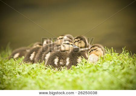 Mass of baby Mallards by the creek