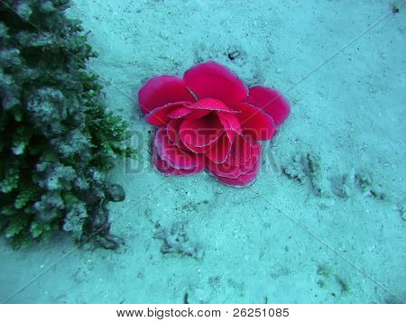 Purple sea lily close-up. Red sea poster