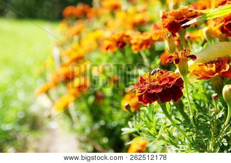 flower background orange marigolds vividly bright blossoming flush floral plant on flowerbed in the garden poster