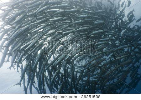 School of barracudas underwater. Borneo