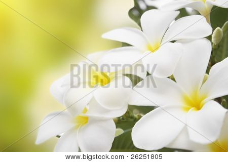 Plumeria alba flowers isolated on abstract blur background.