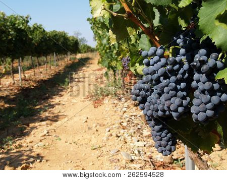 Bunches Of Wine Grapes Bunches Of Wine Grapes On The Vine Ready To Harvest In Provence France