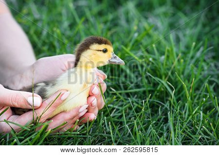 Nice Yellow Duckling Going Into The Grass
