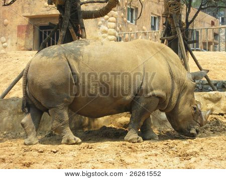 Black rhinoceros (Diceros bicornis) at Dalian Zoo China