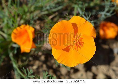 Close Golden Poppy Image Photo Free Trial Bigstock