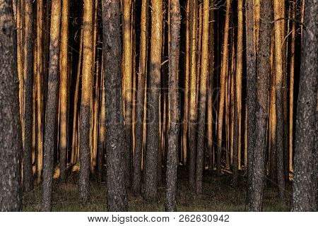 Mysterious Gloomy Dense Pine Forest. Sunlight Through The Trees. Amazing Woodland Landscape. Heat We