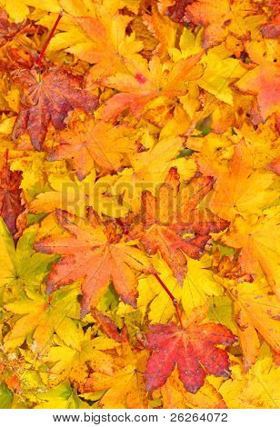 red and yellow decorative maple leafs fall  background