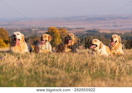 Five Labrador Dogs Lying In Autumn Grass.