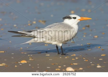 Royal Tern (Sterna maxima) on the beach poster