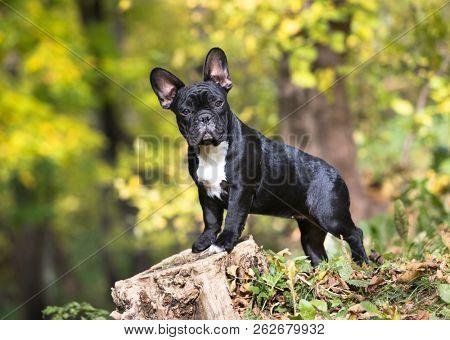 french bulldog in autumn background