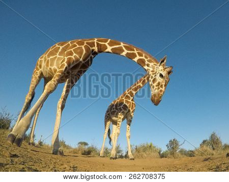 Reticulated Giraffe wide angle view