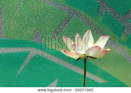 Water lily in patterned window background