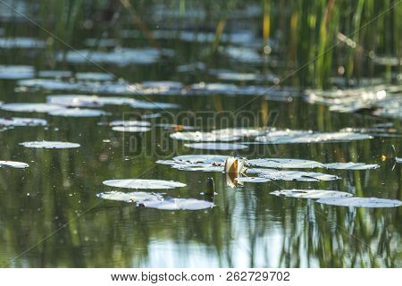 White Water Lily In A Pond. Nymphaea Alba. Beautiful White Water Lily